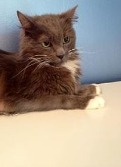Domestic Mediumhair Cat for adoption in Summerville, South Carolina - Strel