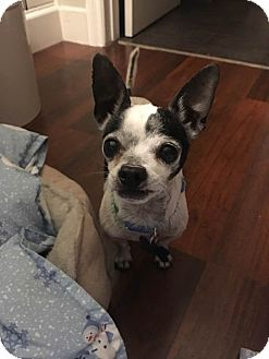 Chihuahua Mix Dog for adoption in Fountain Valley, California - Rudy