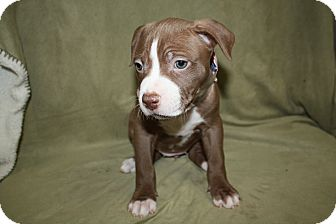Pit Bull Terrier Puppy for adoption in Tehachapi, California - Sneezy
