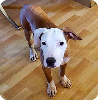 American Bulldog/Pit Bull Terrier Mix Puppy for adoption in Northeast, Ohio - Phoebe