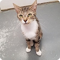Domestic Shorthair Cat for adoption in Umatilla, Florida - Charlotte