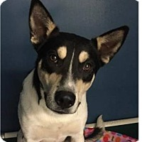 Australian Cattle Dog Mix Dog for adoption in Springdale, Arkansas - Banjo