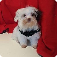 Adopt A Pet :: Dandy - Overland Park, KS