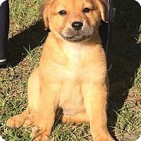 Adopt A Pet :: Harper - Gainesville, FL