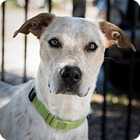 Adopt A Pet :: CiCi - St. Petersburg, FL