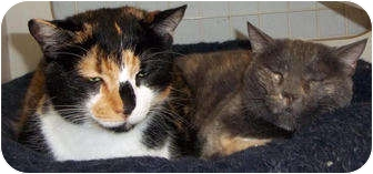 Domestic Shorthair Cat for adoption in St. Louis, Missouri - Snickers & Smokey