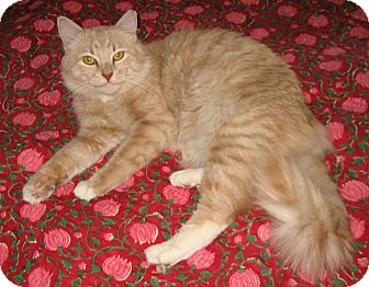 Domestic Mediumhair Cat for adoption in Brooklyn, New York - Tracks