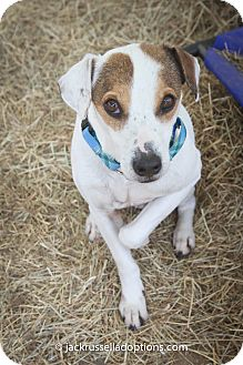 Jack Russell Terrier Dog for adoption in Conyers, Georgia - Oscar