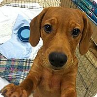 Adopt A Pet :: Ziggy - Plano, TX