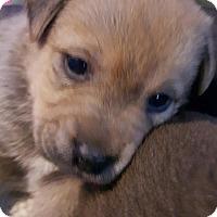 Adopt A Pet :: EBONY BEIGE GIRL - Pompton Lakes, NJ