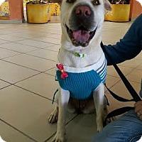 Adopt A Pet :: Amber - New York, NY