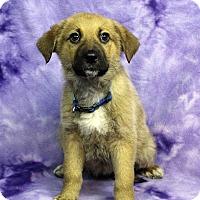 Adopt A Pet :: Lucciana - Westminster, CO