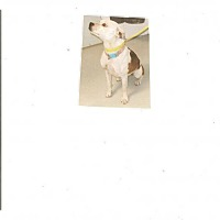 Pit Bull Terrier Mix Dog for adoption in Fulton, Missouri - Daisy *New Mexico