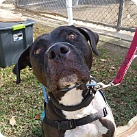 Adopt A Pet :: Hugo - Hawthorne, CA