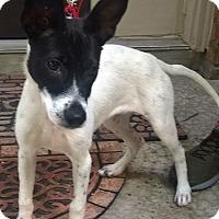 Adopt A Pet :: Mischief in Houston - Austin, TX