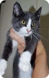 Domestic Mediumhair Kitten for adoption in Grinnell, Iowa - Boots