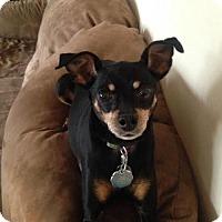 Miniature Pinscher Dog for adoption in Tonawanda, New York - Kaya