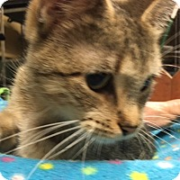 Exotic Cat for adoption in Antioch, Illinois - Ali