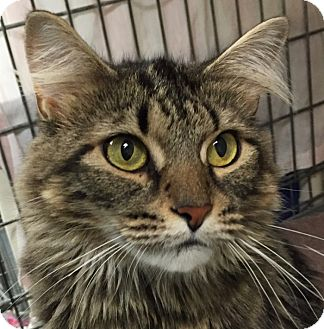Domestic Longhair Cat for adoption in Norwalk, Connecticut - Shirley