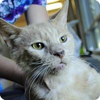 Domestic Shorthair Cat for adoption in Hamilton, Ontario - Albert