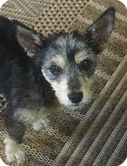 Dachshund/Terrier (Unknown Type, Small) Mix Dog for adoption in Denver, Colorado - Pixie