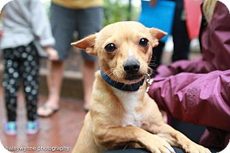 Chihuahua Mix Dog for adoption in Washington, D.C. - Matilda