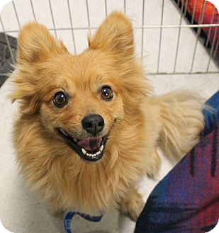Pomeranian Mix Dog for adoption in Rancho Cordova, California - Channing
