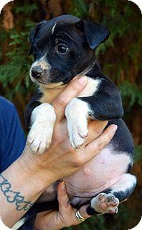 Labrador Retriever/Beagle Mix Puppy for adoption in Bayshore, New York - Betty