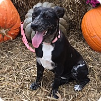 Cattle Dog/Terrier (Unknown Type, Medium) Mix Dog for adoption in Manchester, New Hampshire - Cinder