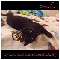 Domestic Mediumhair Kitten for adoption in Richmond, Virginia - Evanlyn