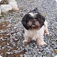 Adopt A Pet :: Celeste - Whitehall, PA