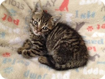 Domestic Shorthair Kitten for adoption in Studio City, California - tiny Willow