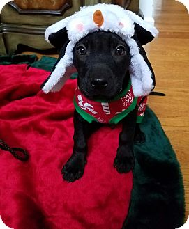Labrador Retriever/Boxer Mix Puppy for adoption in Monroe, North Carolina - Sleepy