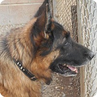 German Shepherd Dog Dog for adoption in Yucaipa, California - Tavo