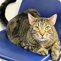 Domestic Shorthair Cat for adoption in Melbourne, Kentucky - Sarge