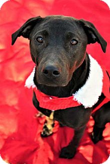 Labrador Retriever Dog for adoption in Fayette, Missouri - Cely