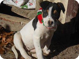 Labrador Retriever/Hound (Unknown Type) Mix Puppy for adoption in Berkeley Heights, New Jersey - Nikki