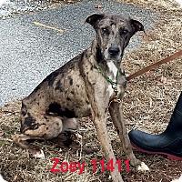 Adopt A Pet :: Zoey - Alexandria, VA