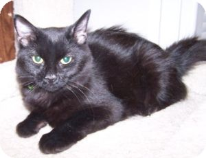 Domestic Mediumhair Cat for adoption in Colorado Springs, Colorado - K-Hart7-Della