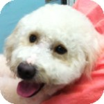 Bichon Frise Dog for adoption in La Costa, California - Buddy