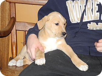 Labrador Retriever Mix Puppy for adoption in Centerpoint, Indiana - Leo