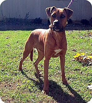 Coonhound Mix Dog for adoption in Cookeville, Tennessee - Harley
