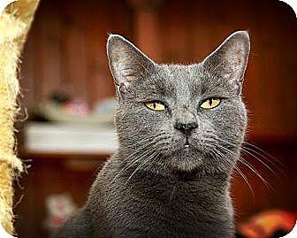 American Shorthair Cat for adoption in Middletown, New York - Munchie