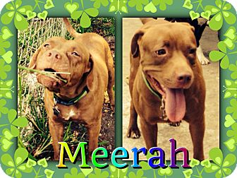 Dogue de Bordeaux/Terrier (Unknown Type, Medium) Mix Dog for adoption in Homestead, Florida - Meerah