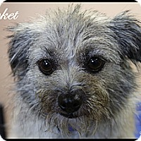Adopt A Pet :: Cricket - Rockwall, TX