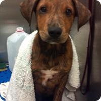Adopt A Pet :: Benny - Williston, FL