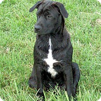 Adopt A Pet :: Bree - Waller, TX