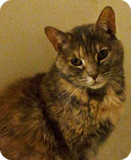 Domestic Shorthair Cat for adoption in Jersey City, New Jersey - Buffy