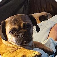 Adopt A Pet :: Stella - Rancho Cucamonga, CA