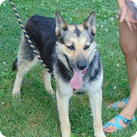 German Shepherd Dog Mix Dog for adoption in Portland, Maine - Bronco